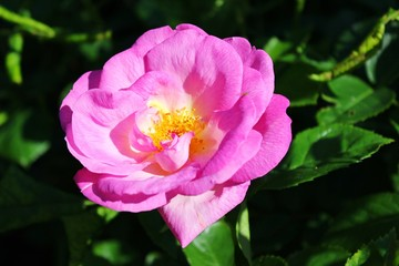 Leuchtende rosafarbene Blume