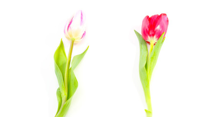 Zwei Tulpen, isoliert auf weiß
