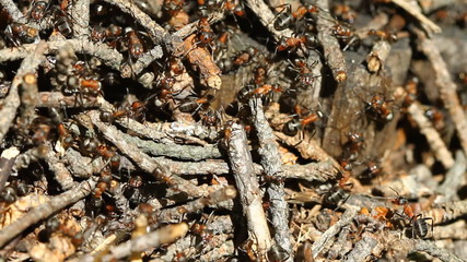 Ants colony working on the ant hill