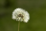 Single dandelion (seed) - 65271822