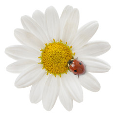Ladybird and Perfect Daisy