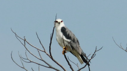Black Shoulder Kite 04
