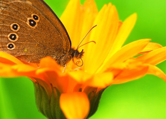 Butterfly with proboscis sitting on a flower