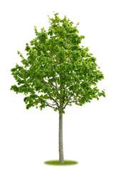 Junger freigestellter Lindenbaum im Frühling