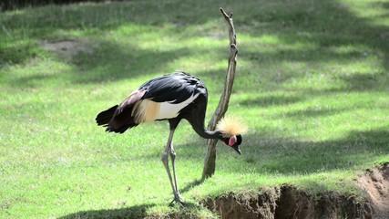 African Grey Crowned Crane (Balearica Regulorum)