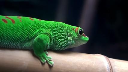 Madagascar Day Gecko (Phelsuma madagascariensis).