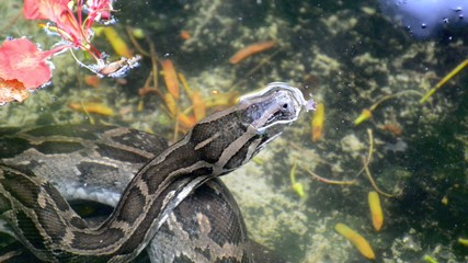 Python in Water