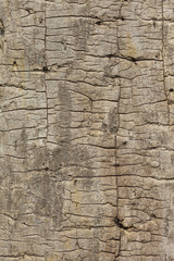 textured ash wood background