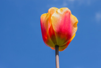 Single yellow and red tulip against a blue sky