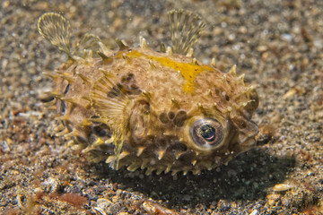 Yellow young puffer fish