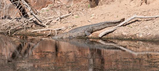 indian marsh crocodile going to swim in the lake