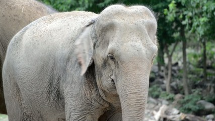 Asian elephant (Elephas maximus) of South and Southeast Asia