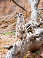 Meerkat o guard