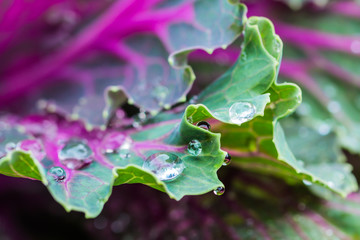 Dew drops on ornamental Cabbage