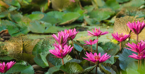 Lotus bloom in the pond.