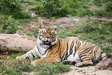 Tiger lying in the grass with mouth open