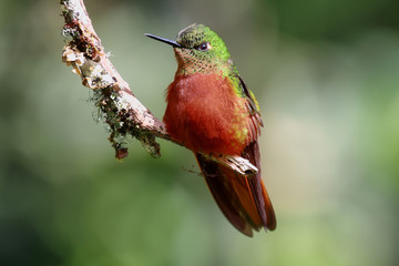 Chestnut-breasted Coronet hummingbird
