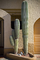 big cactus at the enter of the house