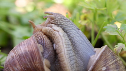 Snail couple. Snail lovers. Snail couple make love.