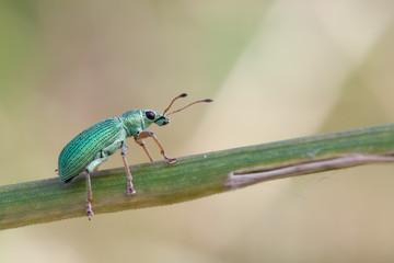 Phyllobius roboretanus