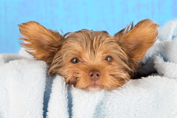 Tired cute little Yorkshire terrier resting on soft blue bed