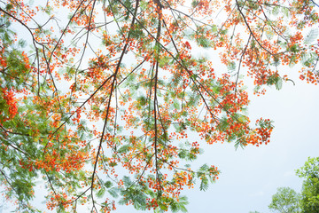 Flam-boyant, The Flame Tree, Royal Poinciana
