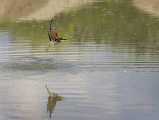 Bee-eater flying