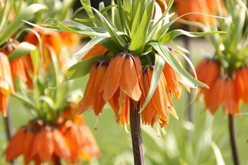 Kaiserkrone Blume Pflanze