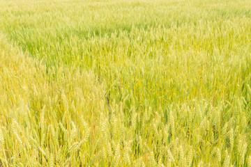 wheat field that is ripe ear