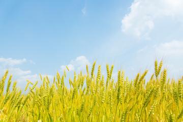 blue sky and ears of wheat