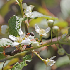 Ant at Prunus padus