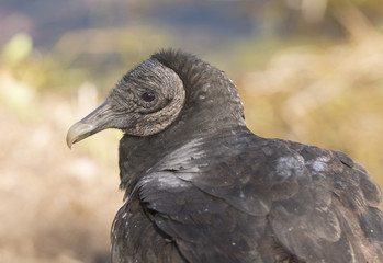 Black Vulture Close up View