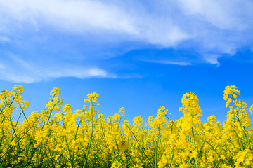 Yellow Oilseed Rape Field with Blue Sky