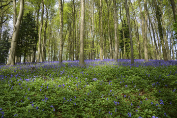 Bluebells, Swinbrook
