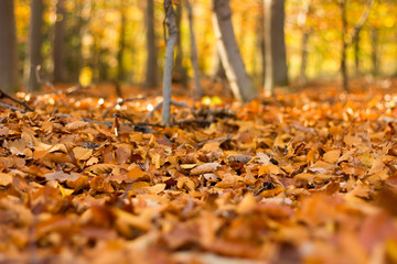 Close up view on the ground covered with fallen golden oak leave