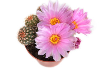 pink cactus flowers over white