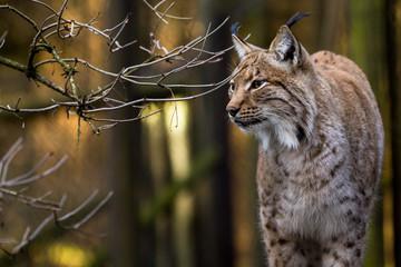 Close-up portrait of an Eurasian Lynx in forest (Lynx lynx)