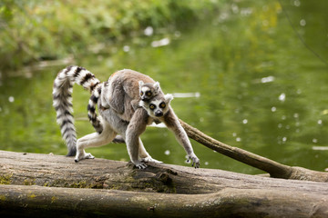 Ring tailed lemur (Lemur catta) in it natural environment