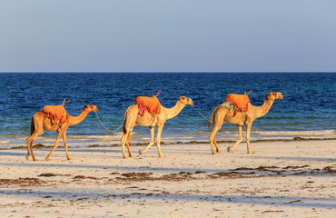 Camels on Diani Beach Kenya Africa