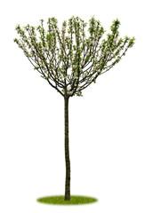 Junger freigestellter Apfelbaum mit Blüten als Fächer