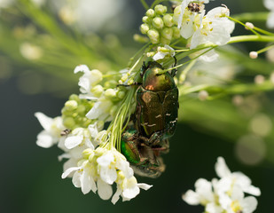 Two green rose chafer mate on flowers in the garden.
