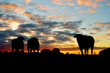 Silhuettes of cows on meadow against dramatic sunset