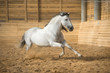 White horse runs gallop in the manege