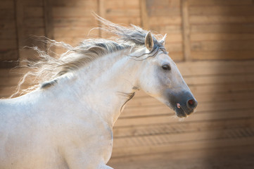 Andalusian white horse portrait in motion