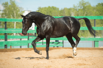 Black Russian trotter horse portrait in motion