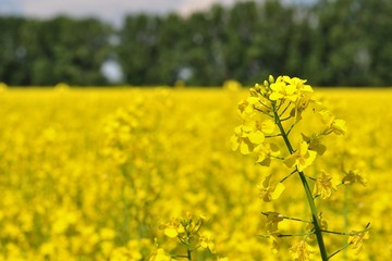 Detail of yellow canola with blurred field and trees