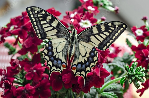 canvas print picture Papilio machaon