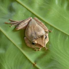 Frog at Khao Sok National Park, Thailand