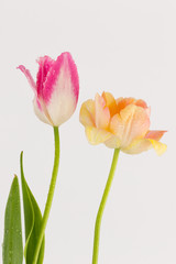 pink and peach tulips