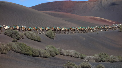 Lanzarote. Hilera De Camellos